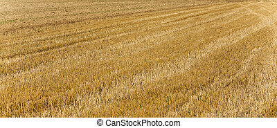 acres after harvest are looking golden - acres after harvest...