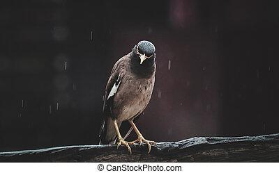 Acridotheres on a rainy day.