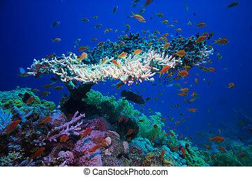 (acropora, corallo,  pharaonis), mare, tavola, rosso