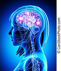 actif, cerveau, anatomie, femme