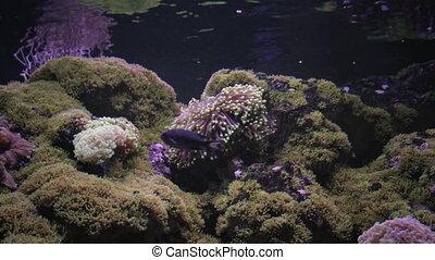 Actinia seaweed under water - Multicoloured Actinia seaweed...