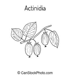 actinidia, kolomikta, -, arzneikraut