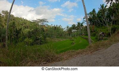 Action camera shot of walking among rice field terraces