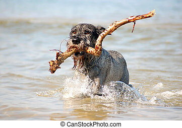 Active dog - Dog Schnauzer having fun in the sea
