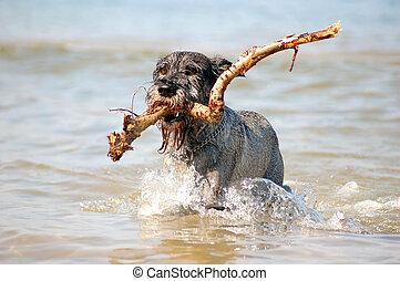 Active dog - Dog Schnauzer having fun in the sea