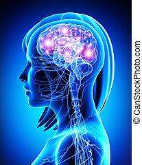 activo, cerebro, anatomía, hembra