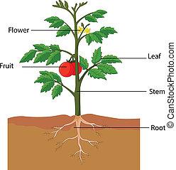 actuación, el, partes, de, un, planta de tomate