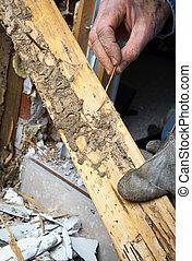 actuación, termita, mano, vivo, madera, primer plano, daño,...