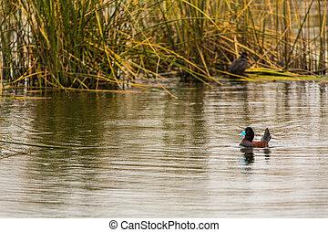 acuático, seabirds, en, lago titicaca, nacional,...