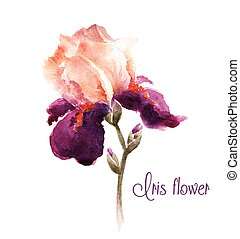 acuarela, iris, flor, borgoña