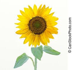 acuarela, -sunflower