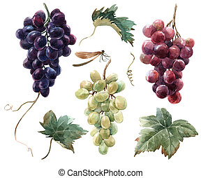 acuarela, uva, conjunto