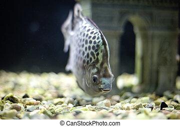 acuario, pez