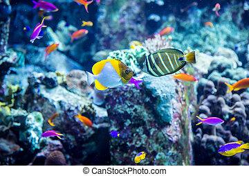 acuario, pez tropical, en, un, barrera coralina