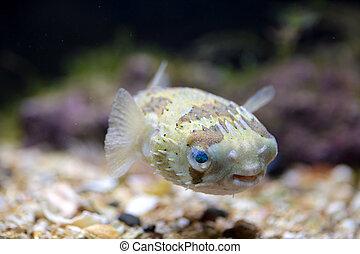 acuario, porcupinefish, natación
