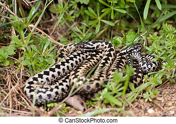 Adders coiled together in the grass