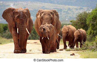addo, aanklacht, olifanten, kudde