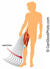 Adduction - Illustration of the movement of adduction of the...