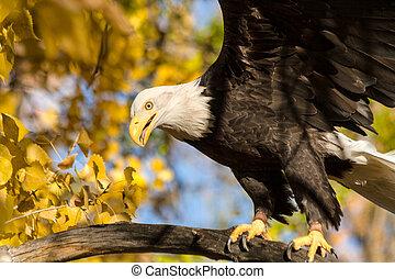 adelaar, amerikaan, kaal