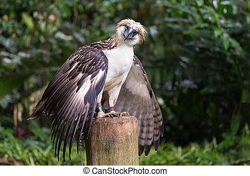 adelaar, filippijn