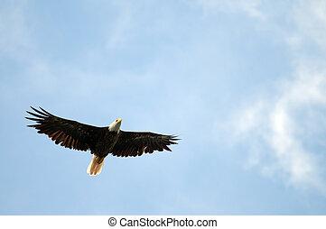 adelaar, het stijgen, kaal