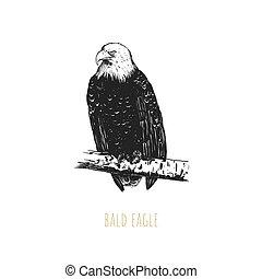 adelaar, vector, illustration., kaal