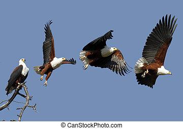 adelaar, visje, park, chobe, nationale, afrikaan, botswana