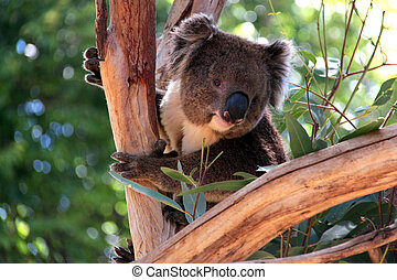 adelaide, eucalipto, australia, árbol, koala, sonriente