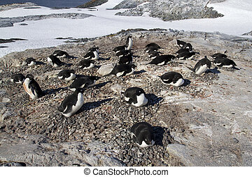 Adelie penguin colony on one of the sunny day Antarctic Islands