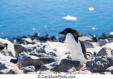 Adelie penguin on the beach