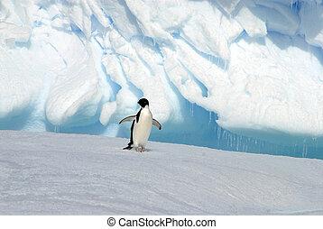 Adelie Penguin on the ice in Antarctica