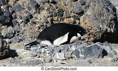 Adelie Penguin on the  nest