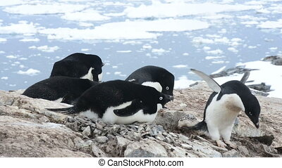 Adelie Penguin the nest