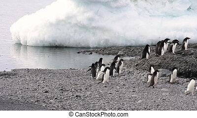 Adelie Penguin walk on the beach in Antarctica