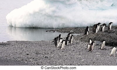 Adelie Penguin walk on the beach