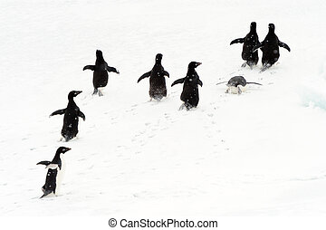 Adelie penguins running on ice.