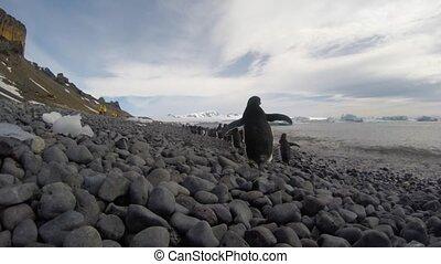 Adelie Penguins walk on the beach