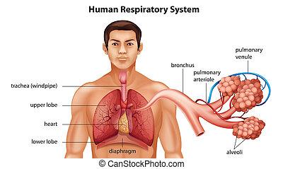 ademhalings systeem, van, mensen
