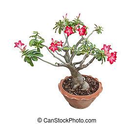 adenium, obesum, árbol, también, conocido, como, desierto, rosa, árbol tropical, en, el, norte, de, thailand.