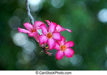 Adenium obesum. - Adenium obesum (Desert Rose; Impala Lily; ...