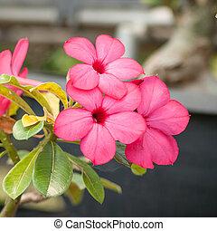 Desert Rose - Adenium obesum , Desert Rose, Impala Lily, ...