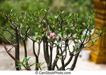 Adenium obesum (Desert Rose; Impala Lily; Mock Azalea) in garden