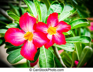 Adenium obesum (Desert Rose; Impala Lily; Mock Azalea)