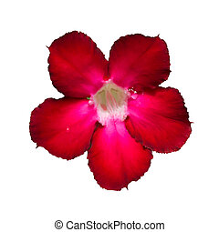 Desert Rose - Adenium obesum (Desert Rose, Impala Lily, Mock...