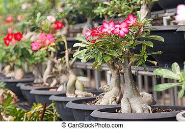 Desert Rose - Adenium obesum (Desert Rose; Impala Lily; Mock...