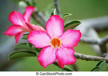 Adenium obesum (Desert Rose, Impala Lily, Mock Azalea)