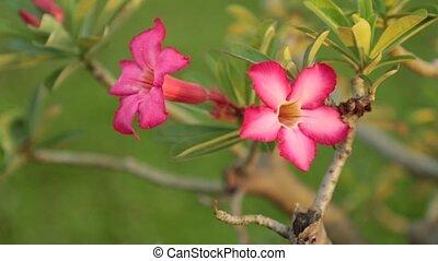 Adenium Obesum Desert Rose Pink Panning High Definition -...