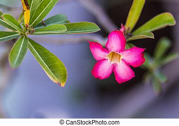 Adenium obesum , Desert Rose