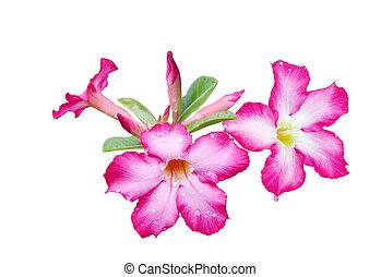 Adenium obesum Flower - Adenium obesum flower isolated on ...