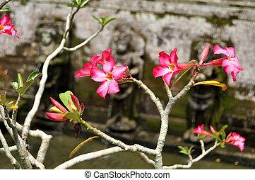 Adenium obesum flowers tree or Apocynaceae flora plant ...